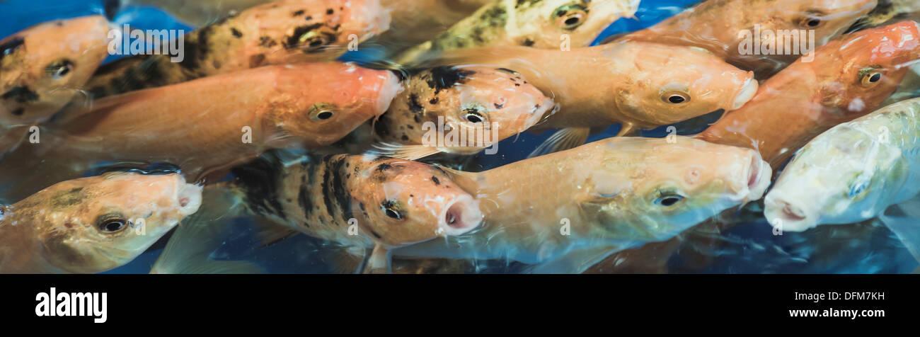 Koi. Photo Stock