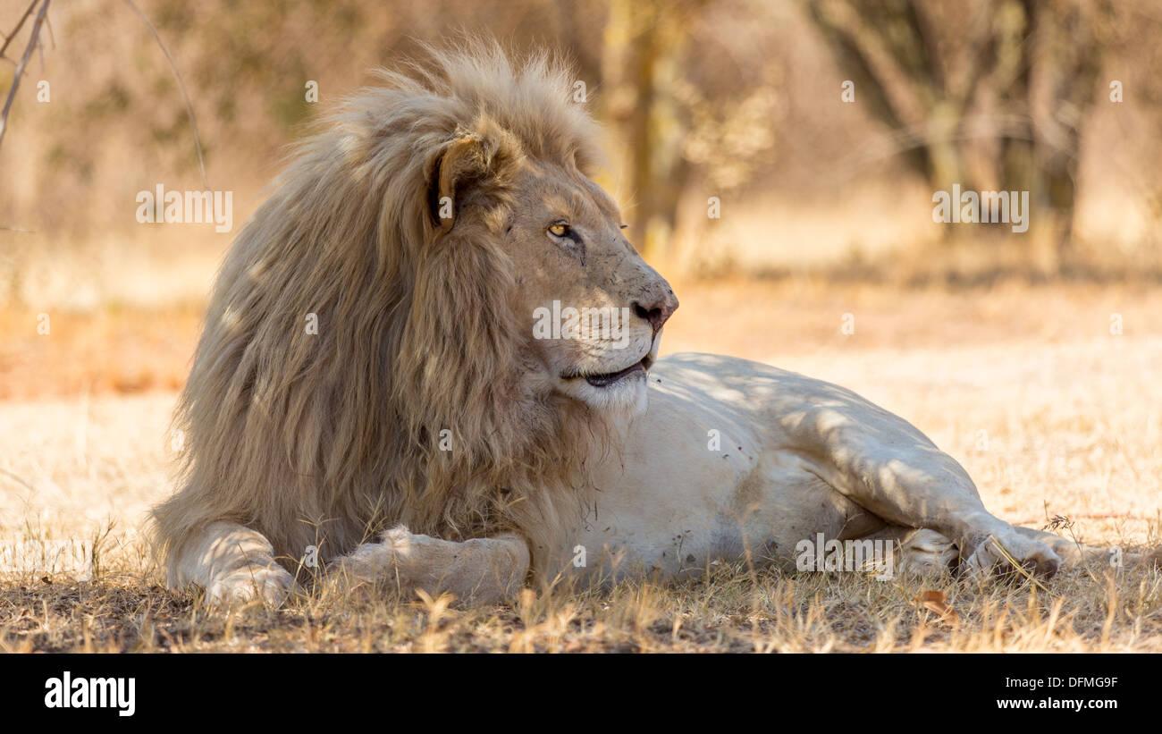 Un magnifique lion blanc indigène de l'Afrique du Sud Photo Stock