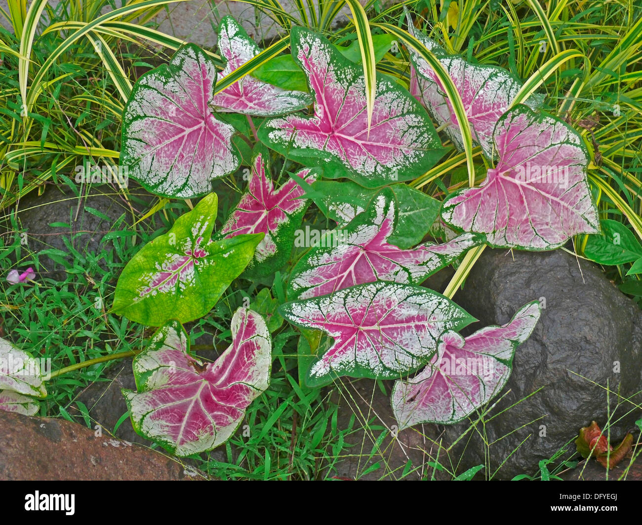 Fancy-Leaved Caladium, Caladium bicolor Photo Stock