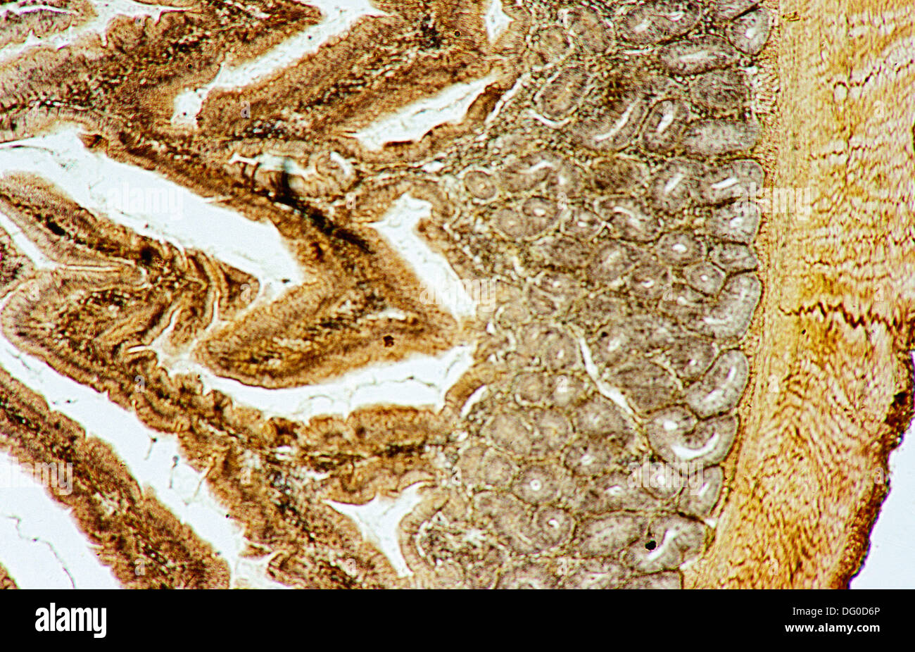 Le pancréas d'oiseaux, 100 X microscope optique, la photomicrographie, histologie, enzymes digestives Photo Stock
