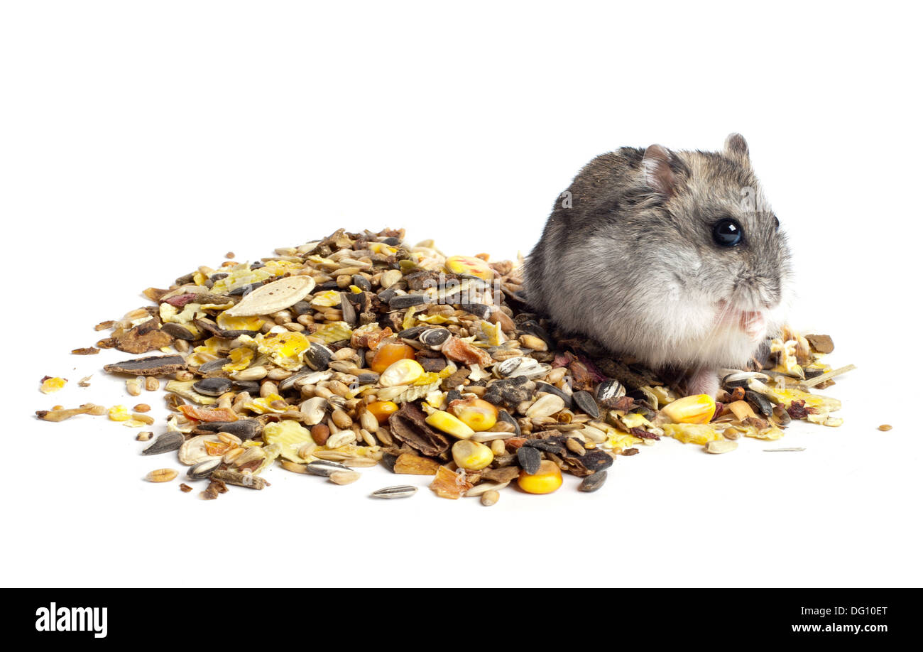 Alimentation Hamster hamster eating photos & hamster eating images - page 5 - alamy