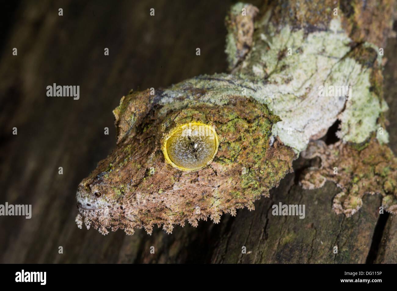 Mossy gecko à queue de feuille, Uroplatus sikorae, Peyrieras Nature Farm, Madagascar Banque D'Images