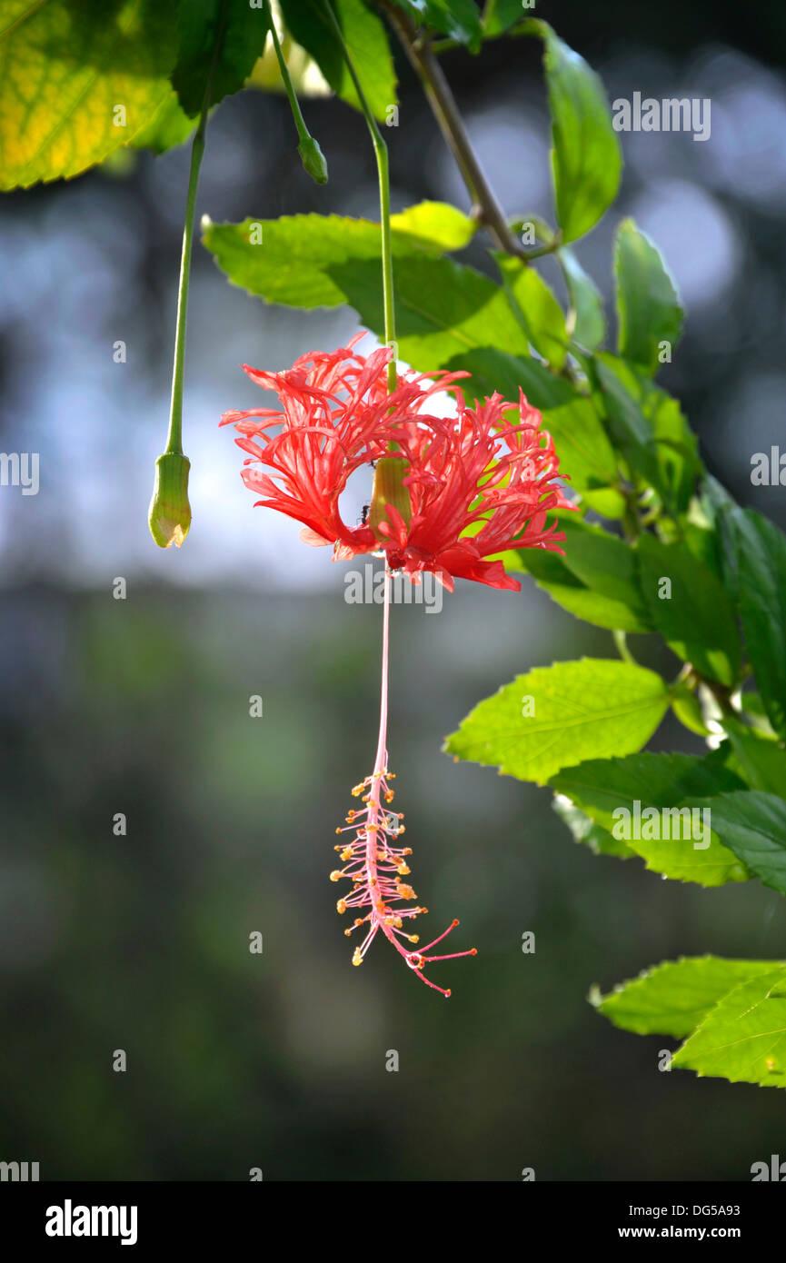 Hibiscus schizopetalus fleur dans un jardin de la Thaïlande. Aussi ...