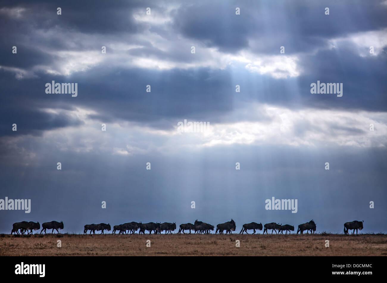 Faisceaux de lumière illuminent un troupeau de la migration des gnous. Photo Stock