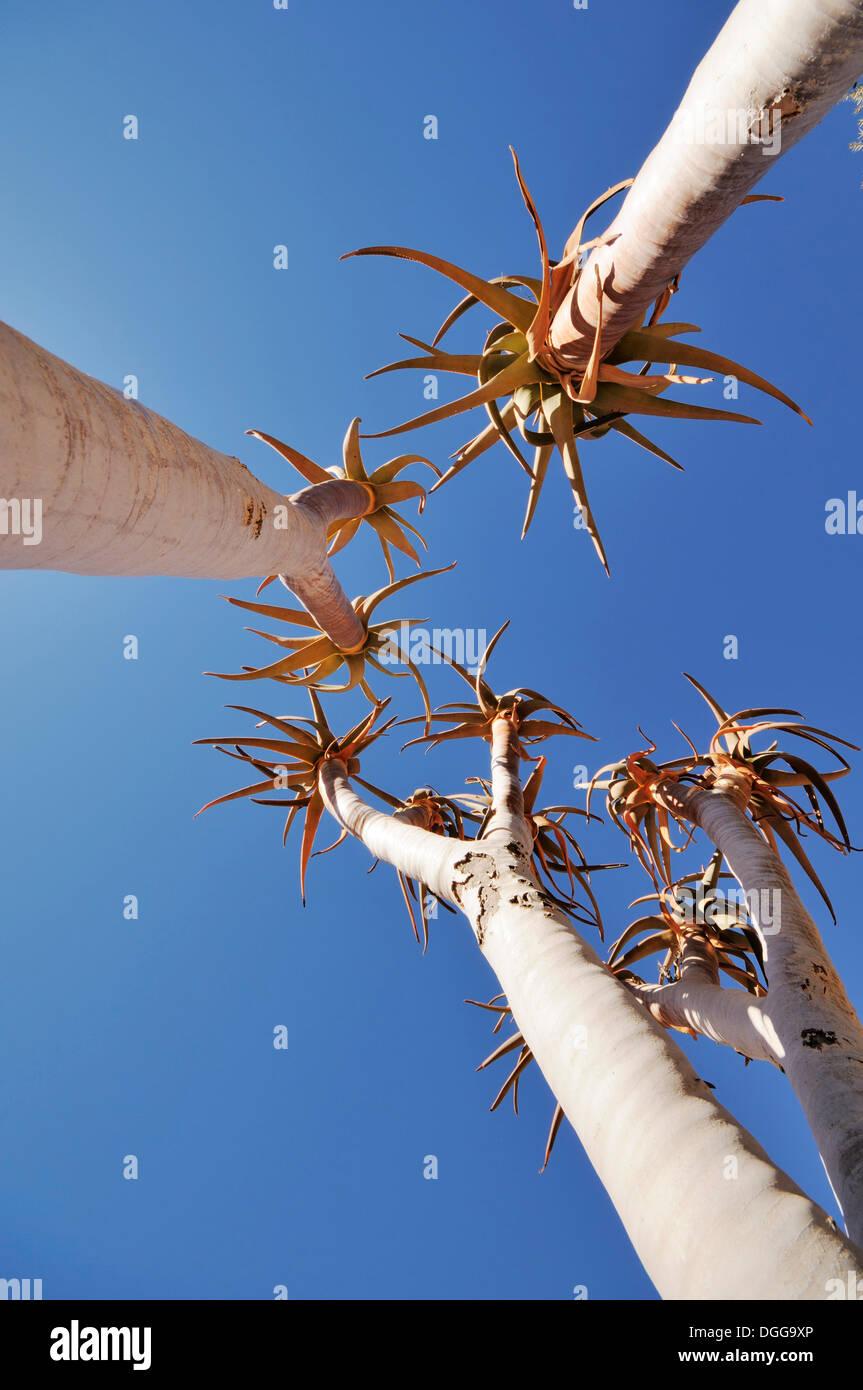 Les jeunes arbres carquois ou Kokerboom (Aloe dichotoma), Namibie Photo Stock