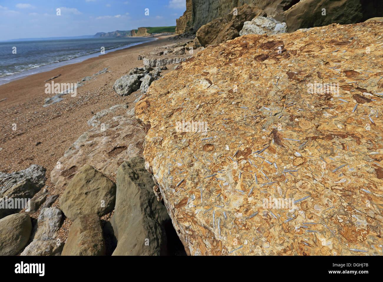 Belemnite tribune fossiles dans la roche à la base de la falaise, sur la plage, Dorset, Angleterre, Mai Photo Stock