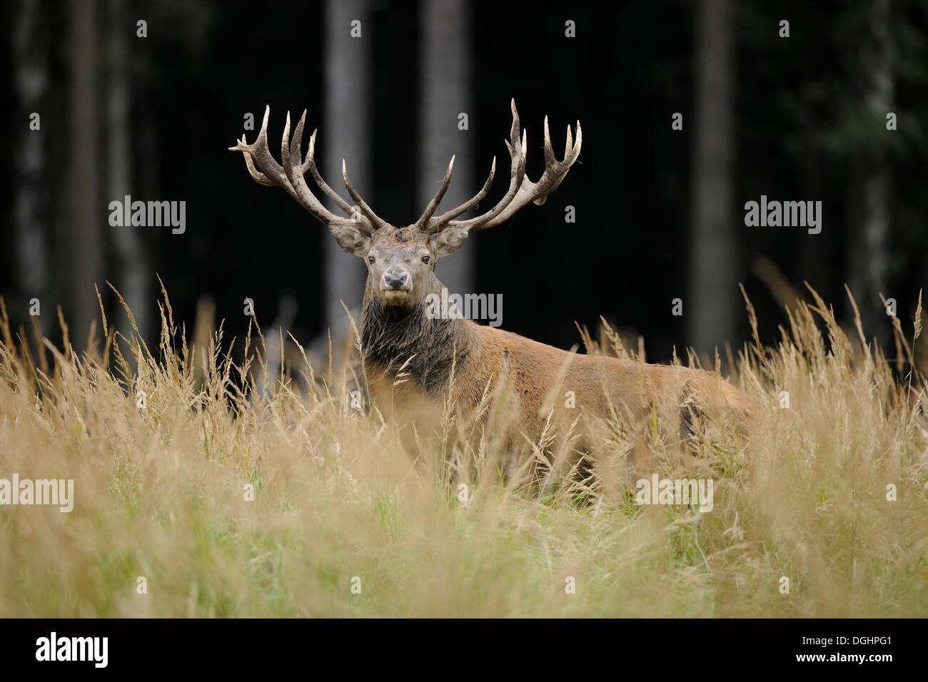 Red Deer (Cervus elaphus), Stag, captive, Basse-Saxe, Allemagne Banque D'Images
