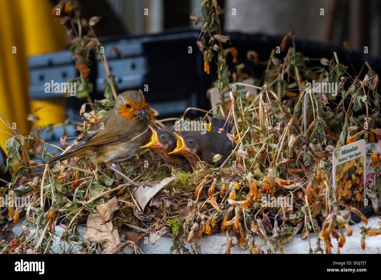 Robin l'alimentation d'un nid de jeunes affamés dans un bac de plantes dans un centre de jardinage. Photo Stock