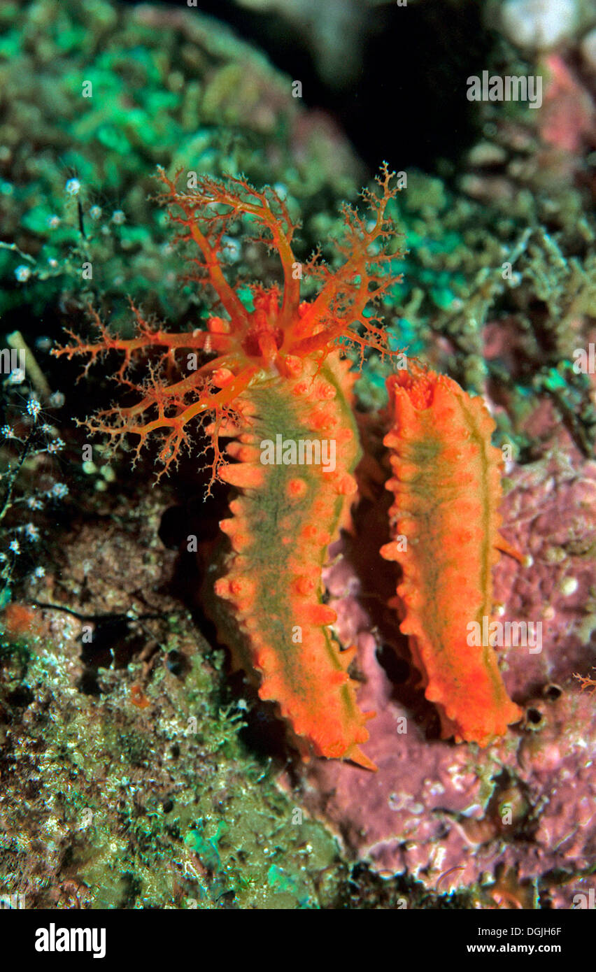Robuste deux concombres de mer (Colochirus robustus) dans un récif de corail, Bornéo, Malaisie, Asie, Océan Indo-pacifique Photo Stock