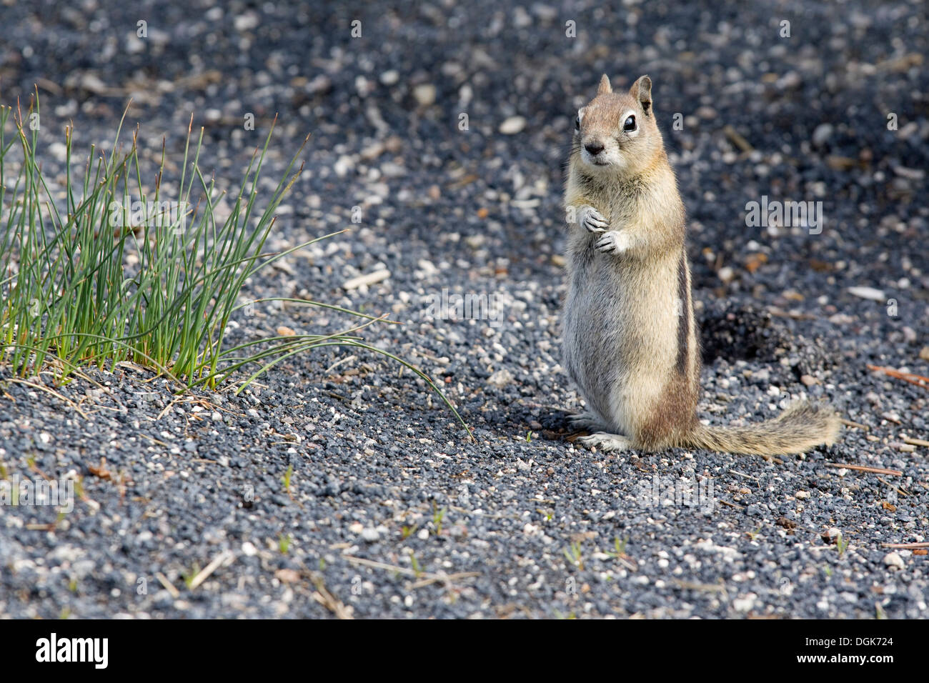 Une timide gopher dans le Parc National de Yellowstone. Photo Stock