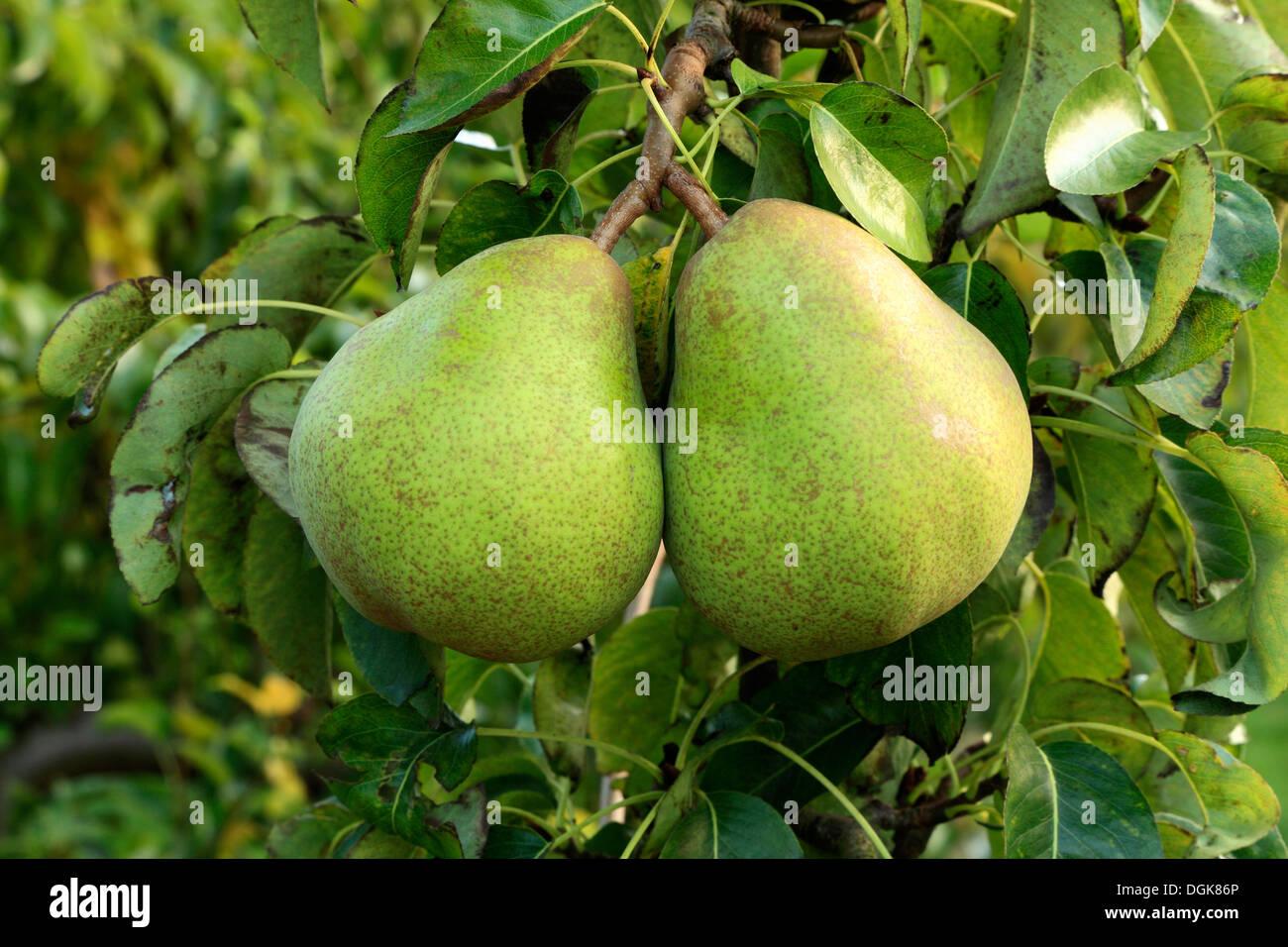 Le poirier 'Doyenne du Comice', Pyrus communis, poires variété varieties growing on tree Banque D'Images