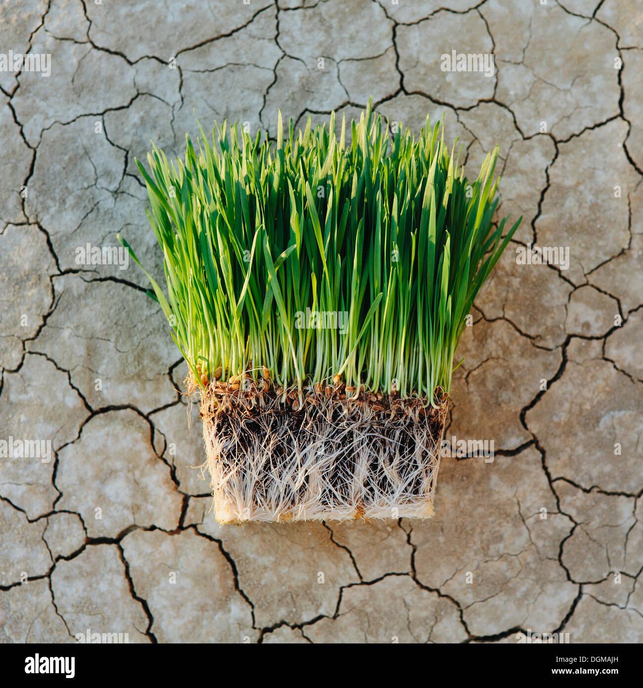 Black Rock Desert aride croûté de sel surface fissurée playa Wheatgrass plantes avec un réseau dense de racines Photo Stock