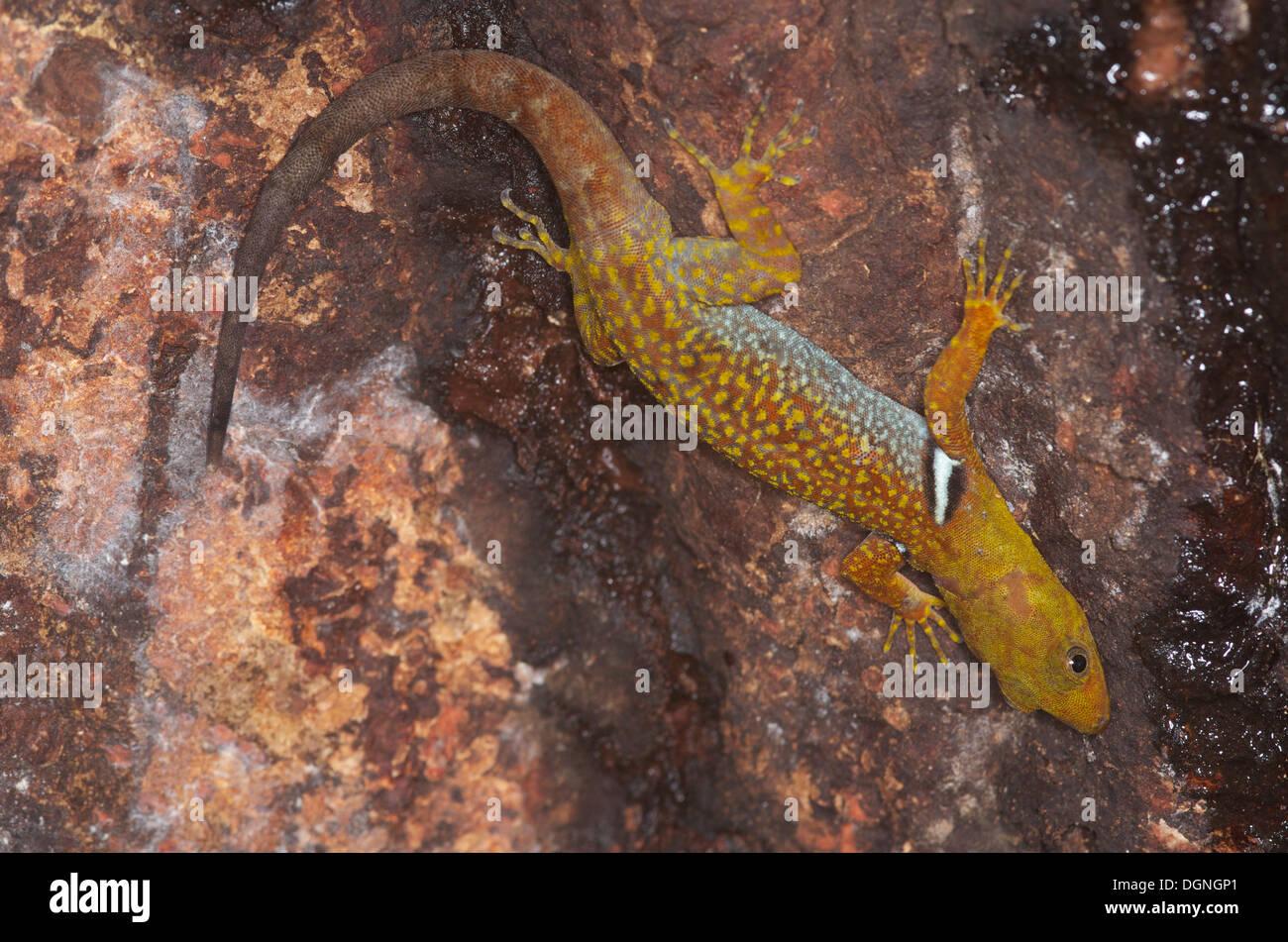 Un collier gecko (Gonatodes concinnatus Forêt) accroché à un tronc d'arbre dans la forêt amazonienne à Loreto au Pérou. Banque D'Images