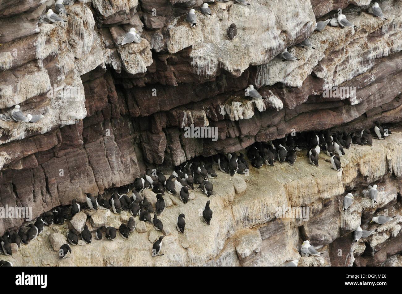 Falaises d'oiseaux, falaise abrupte couverte d'oiseaux nicheurs, guillemots (Uria sp.) et de Petits Pingouins (Alca torda), l'île de Handa, Ecosse Photo Stock