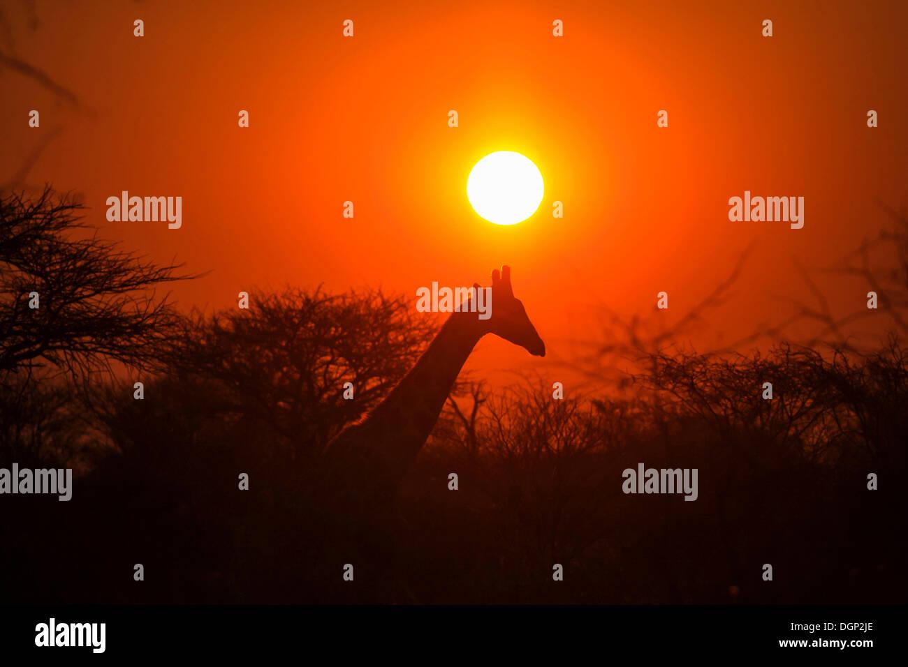 Girafe (Giraffa camelopardalis) devant le coucher du soleil, la Namibie, l'Afrique Photo Stock