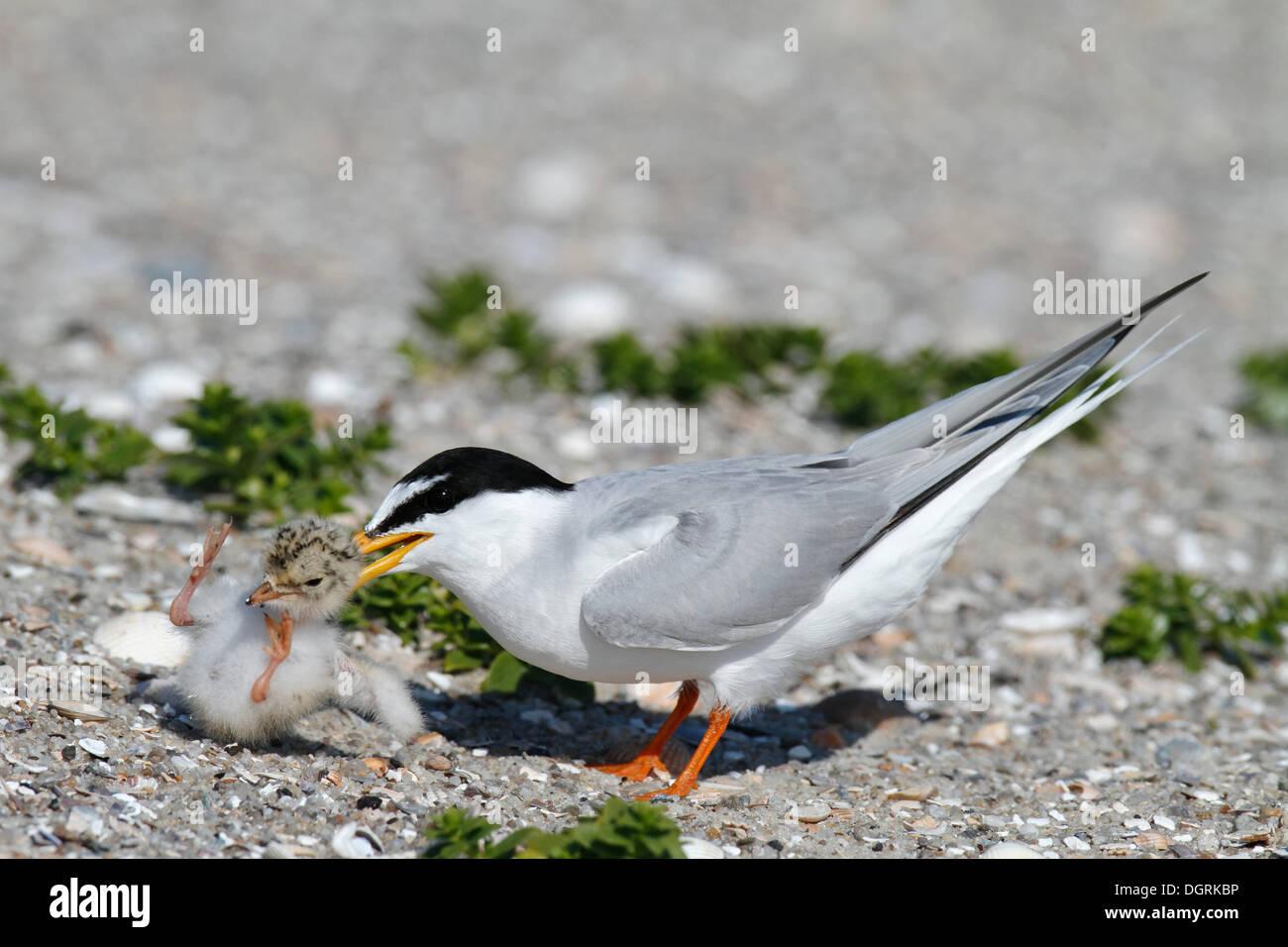 Sterne naine (Sternula albifrons), les espèces étrangères agression contre un interne chick, comportement typique des sternes, Minsener Oog, Banque D'Images