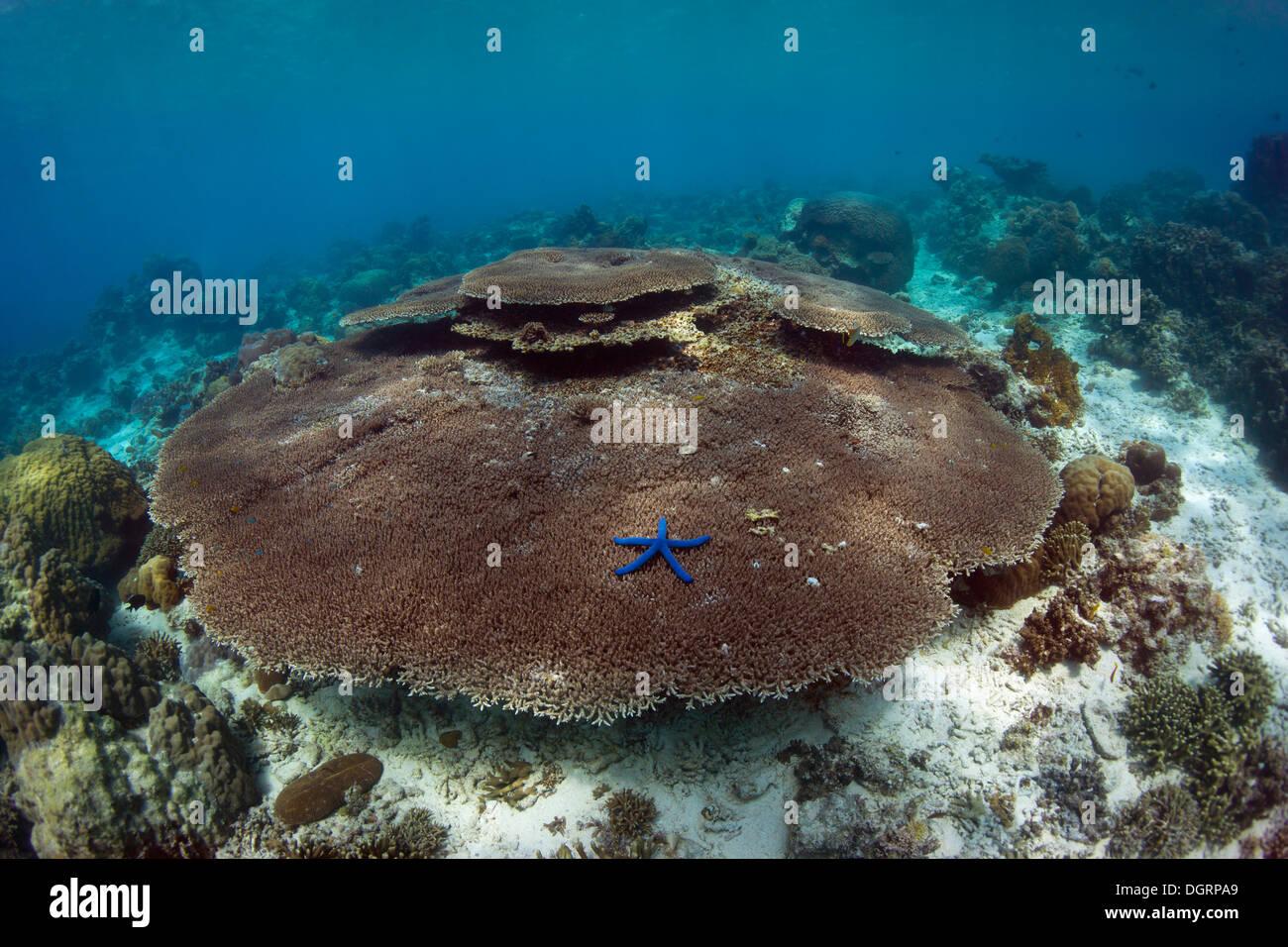 Les récifs coralliens intacts avec plaque de corail, Busuanga, Grande Barrière de Corail, Philippines Photo Stock
