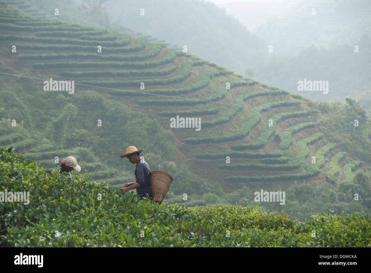 La plantation de thé, thé pickers sur la pente de montagne, Pu'er, Jiangcheng City, province du Yunnan, en République populaire de Chine Photo Stock