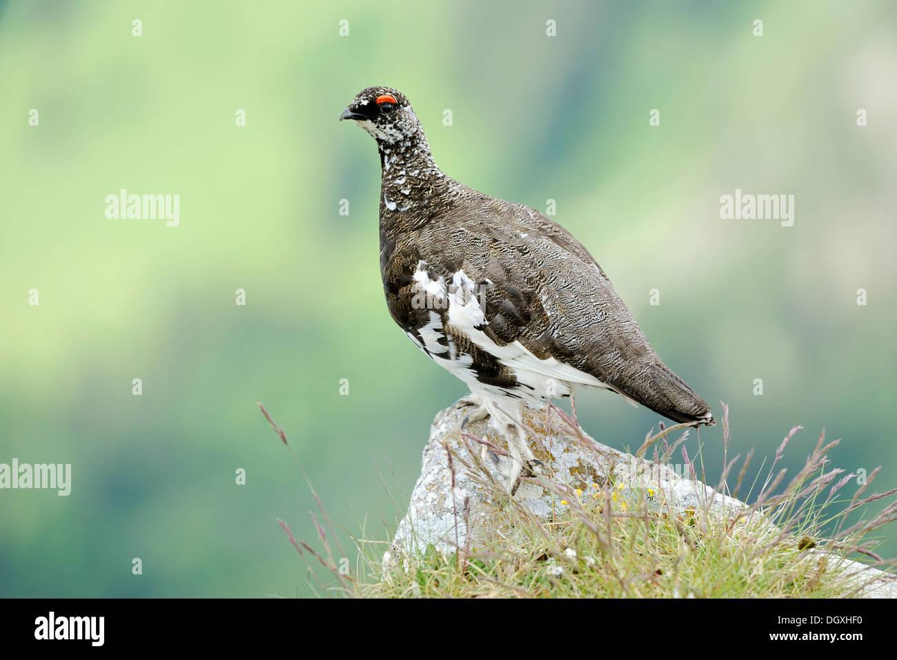 Lagopède ou le lagopède alpin (Lagopus muta), homme, été plumage, perché sur la roche, Wang, Oberland Bernois, Suisse Banque D'Images