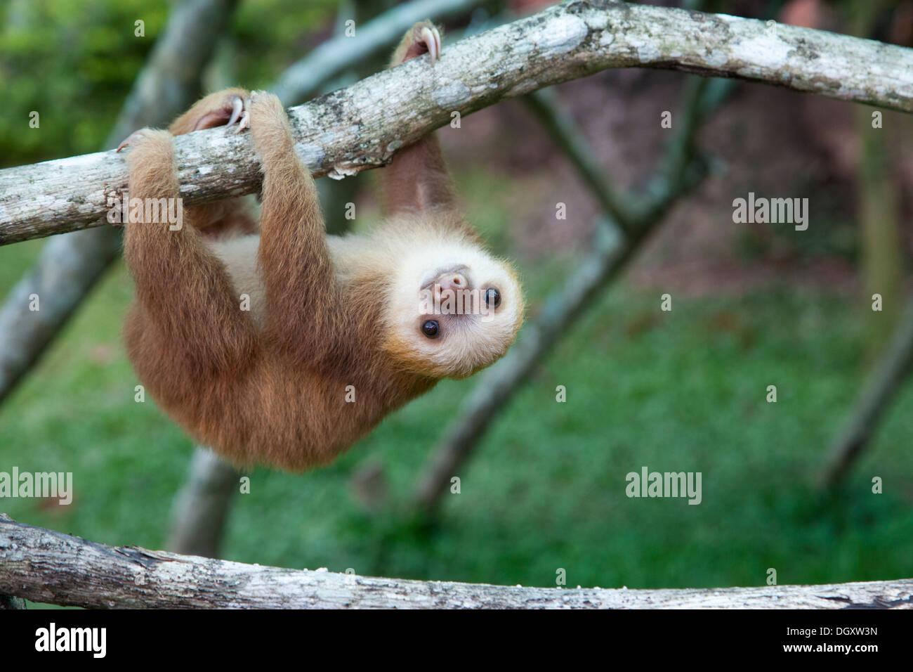 Hoffmann's Deux-toed Sloth (Choloepus hoffmanni) orphelin à l'indolence Sanctuaire de Costa Rica, jouant sur l'arbre branche Jungle gym Photo Stock