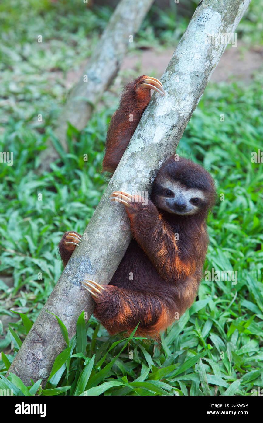Brown-throated trois-toed Sloth (Bradypus variegatus), à l'orphelin Sloth Sanctuary du Costa Rica Photo Stock