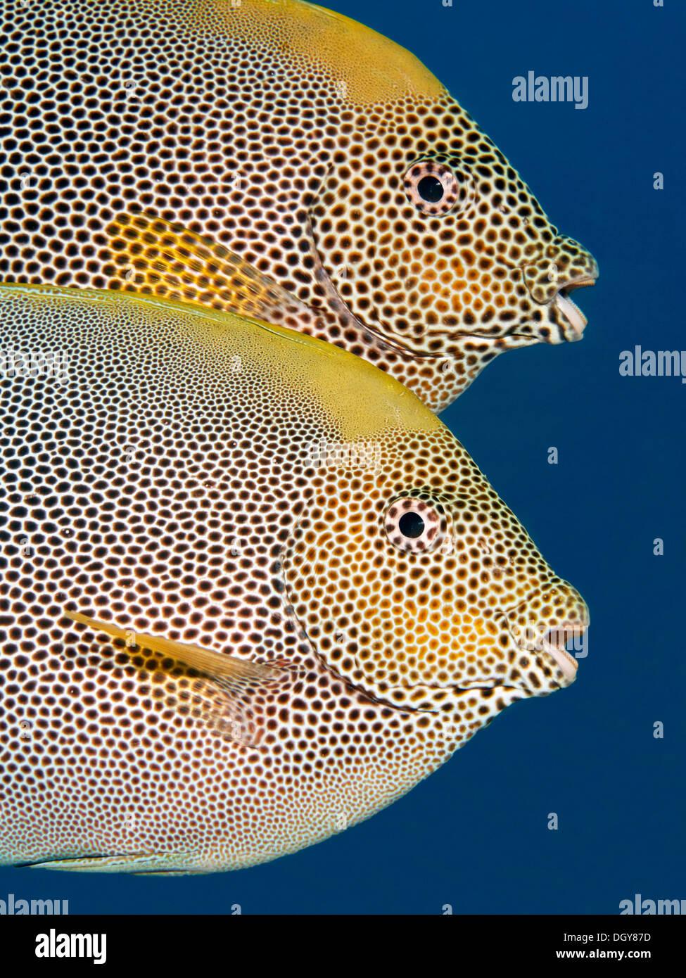 Paire, Brownspotted Sigan marbré (Siganus stellatus), Royaume hachémite de Jordanie, JK, Mer Rouge, de l'Asie occidentale Photo Stock