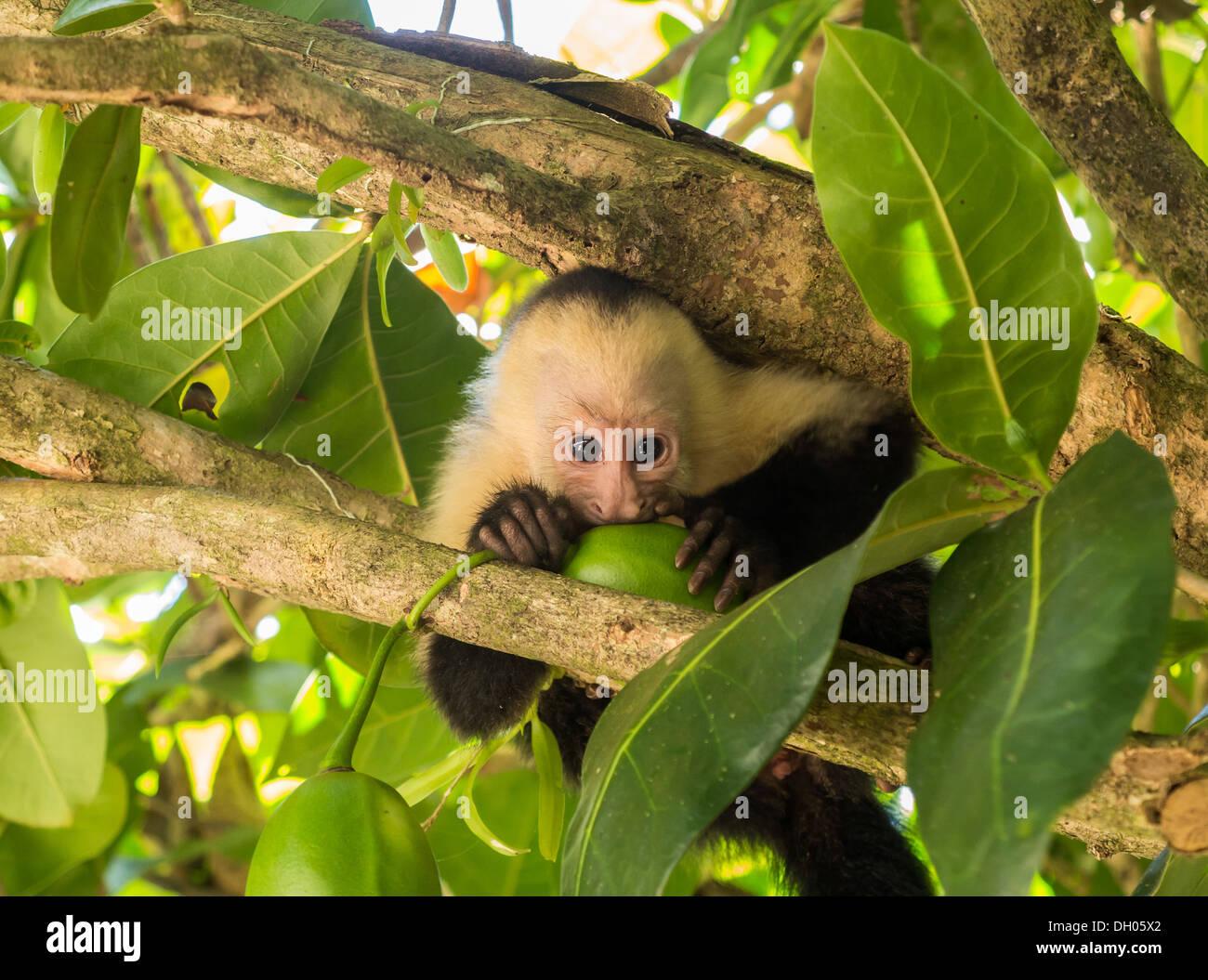 Petit bébé face blanche ou blanc à la tête de singe capucin (Cebus capucinus) dans l'arbre à mâcher sur quelques fruits au Costa Rica Photo Stock