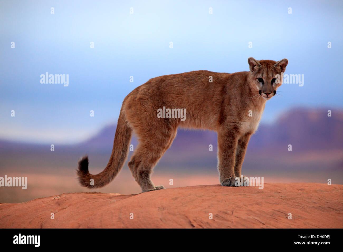 Puma, Cougar ou Lion des montagnes (Puma concolor) debout sur un ...