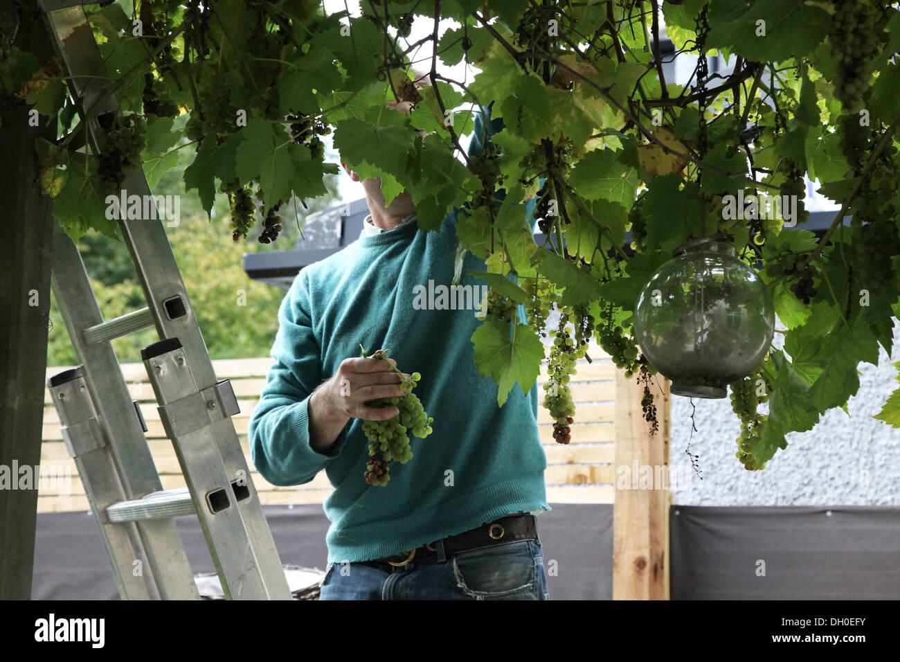 Vendangeurs dans un jardin de Londres Photo Stock