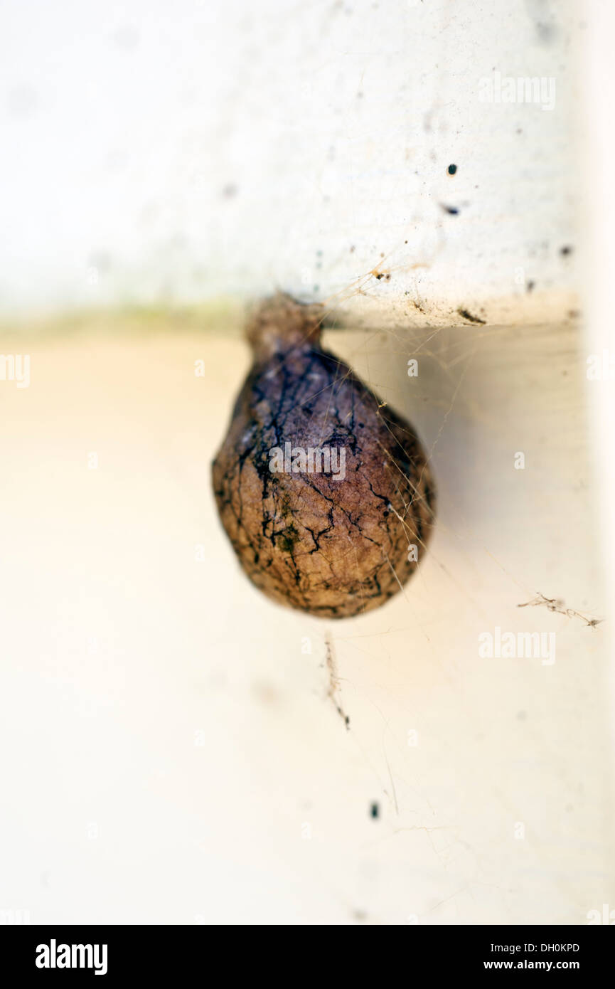 Orb Weaver spider jardin cocoon sac d'oeufs Photo Stock