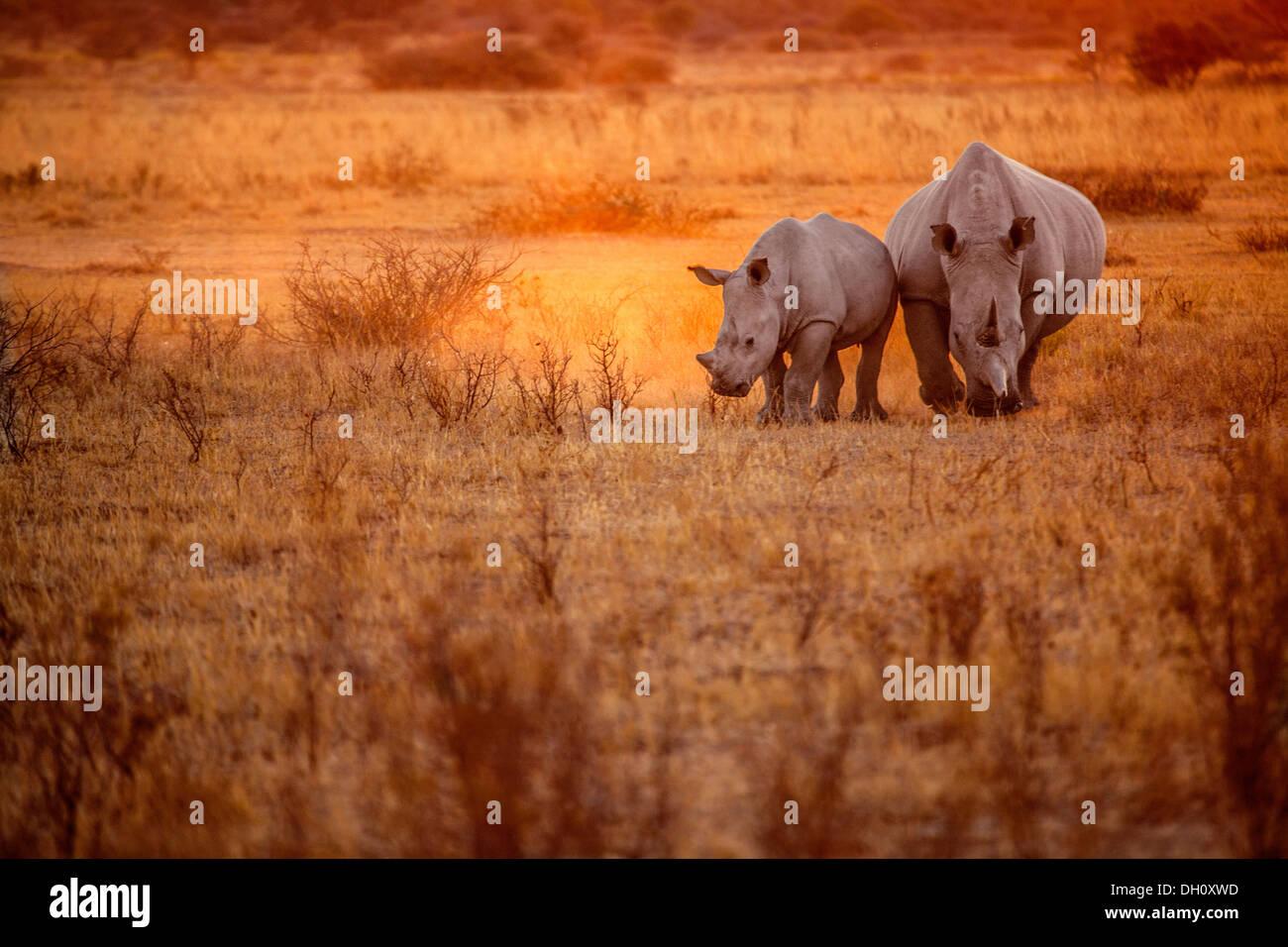 Rhinocéros dans un coucher de soleil Photo Stock