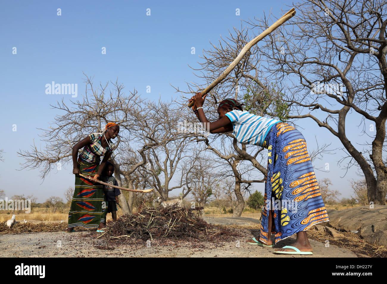 Les femmes martelant le sorgho, le millet avec des bâtons après la récolte, le Burkina Faso Photo Stock