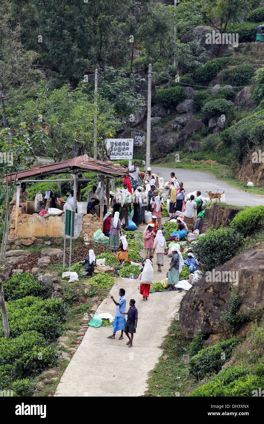 Les cueilleurs de thé femelles se rassemblent pour un temps de collecte à plantation dans les hautes terres du Sri Lanka Photo Stock