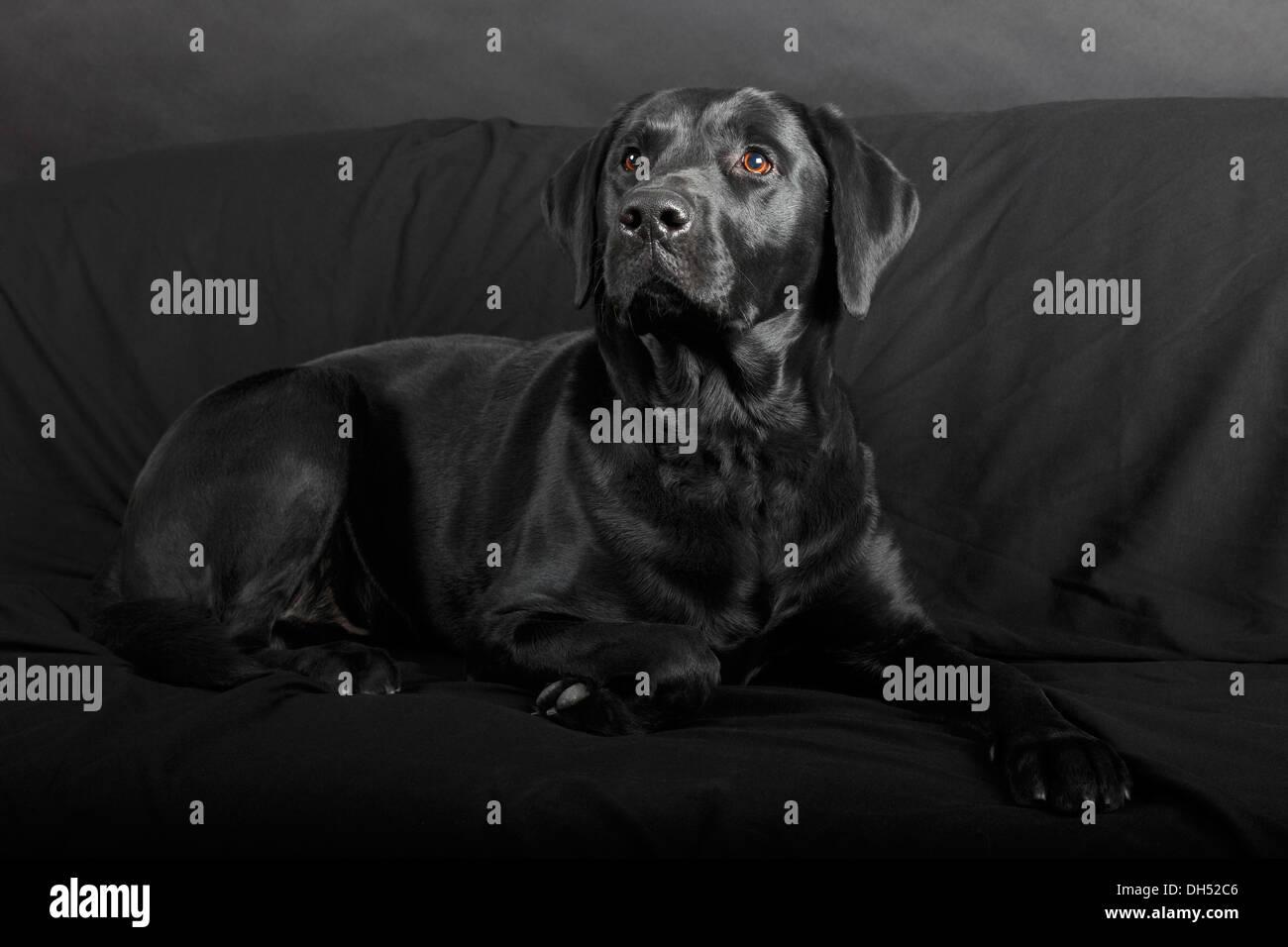 Labrador noir, homme, allongé sur un canapé noir, Allemagne Photo Stock