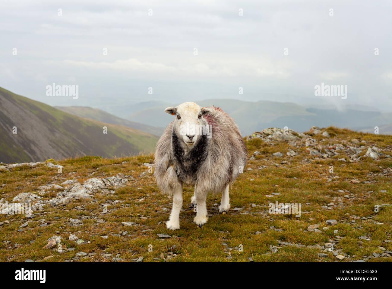 Moutons sur les collines dans la région de Lake District Photo Stock