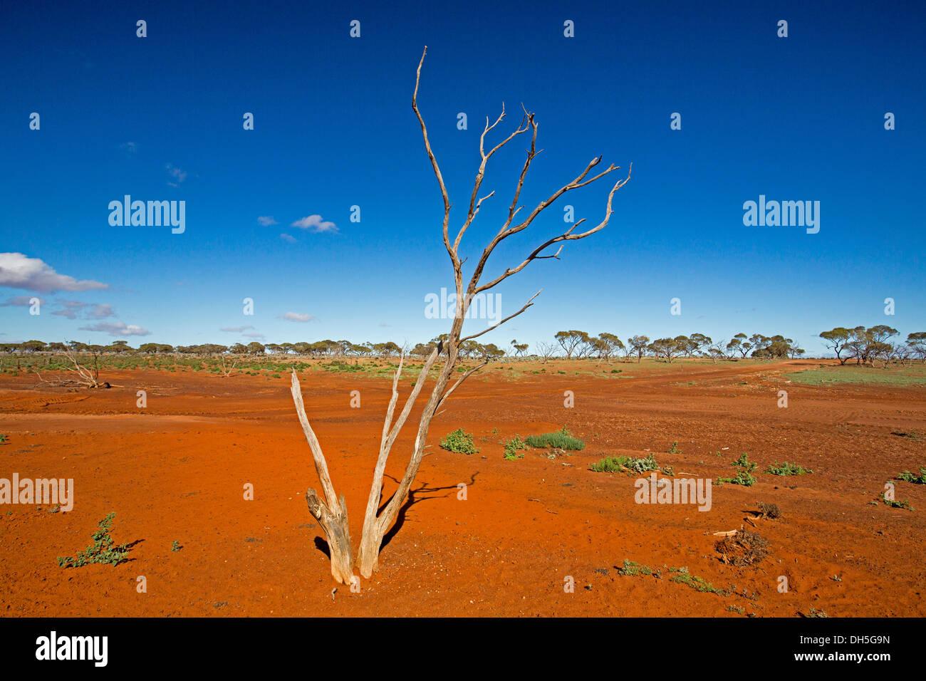 Australian Outback paysage avec l'arbre mort sur de vastes plaines s'étendant jusqu'à rouge bleu ciel et horizon lointain SA Photo Stock