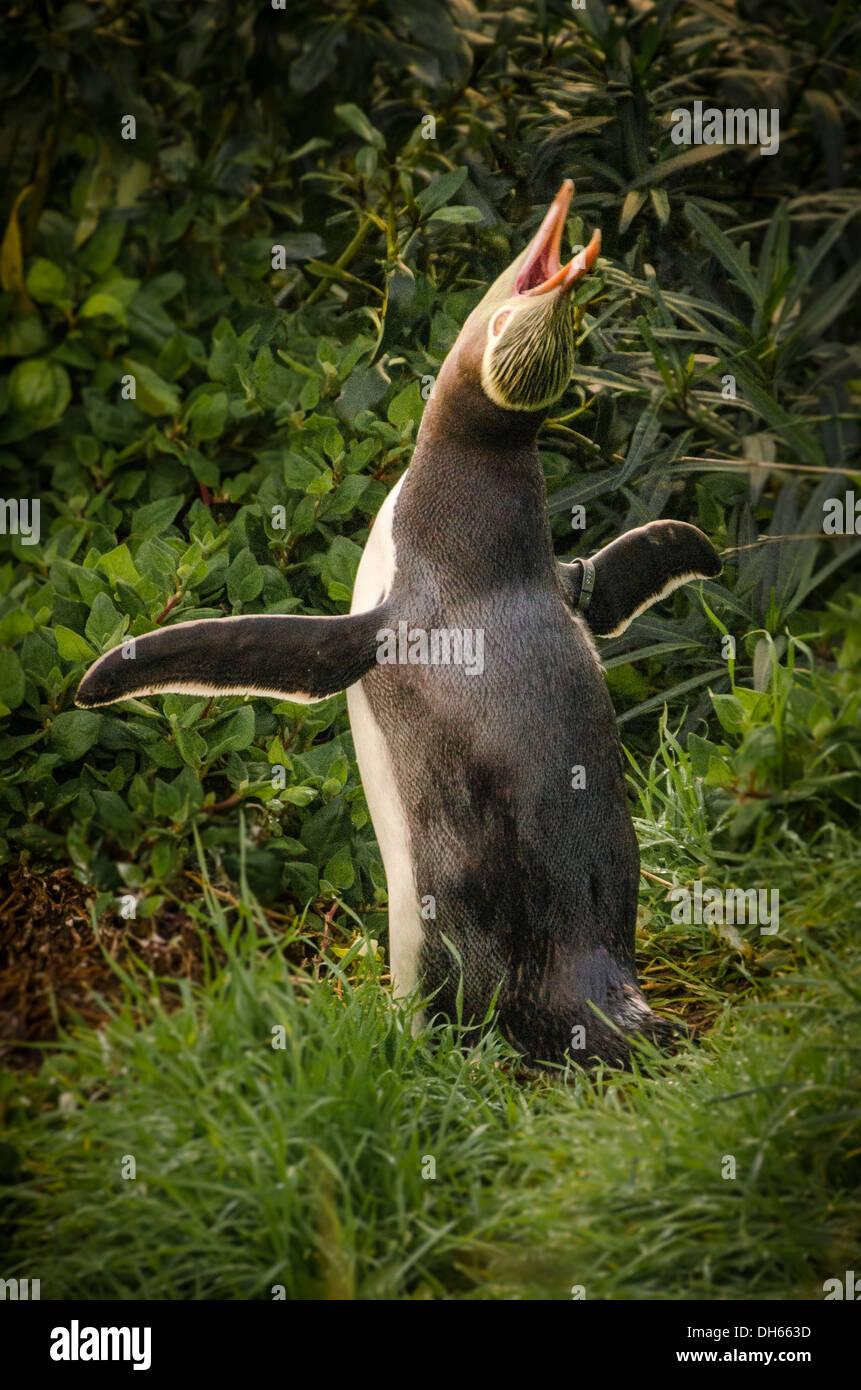 Yellow-eyed penguin à plage de Bushy, Oamaru (Nouvelle-Zélande). Penguin sur terre l'appel à s'accoupler Banque D'Images