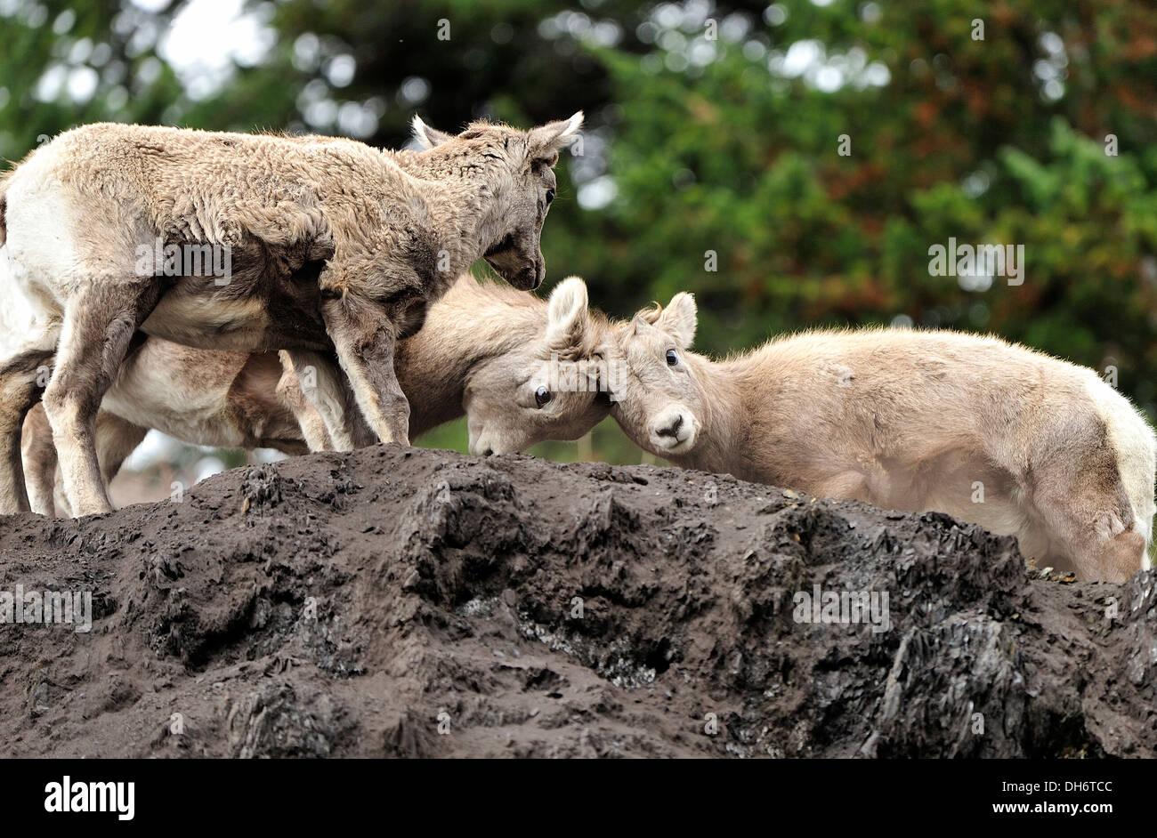 Le mouflon d'enfants affrontent Photo Stock