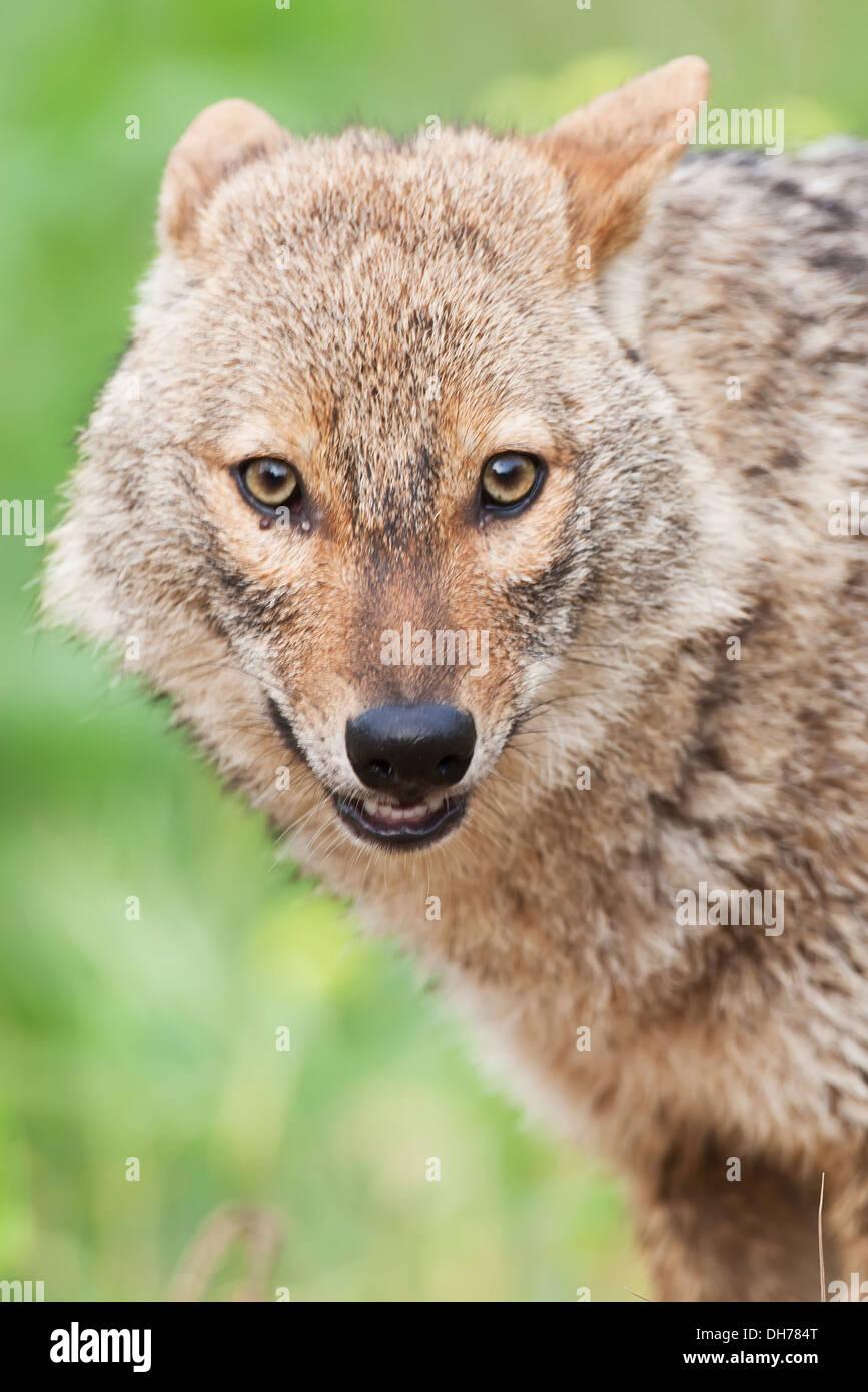 Le chacal doré, Canis aureus, Chacal, Banque D'Images