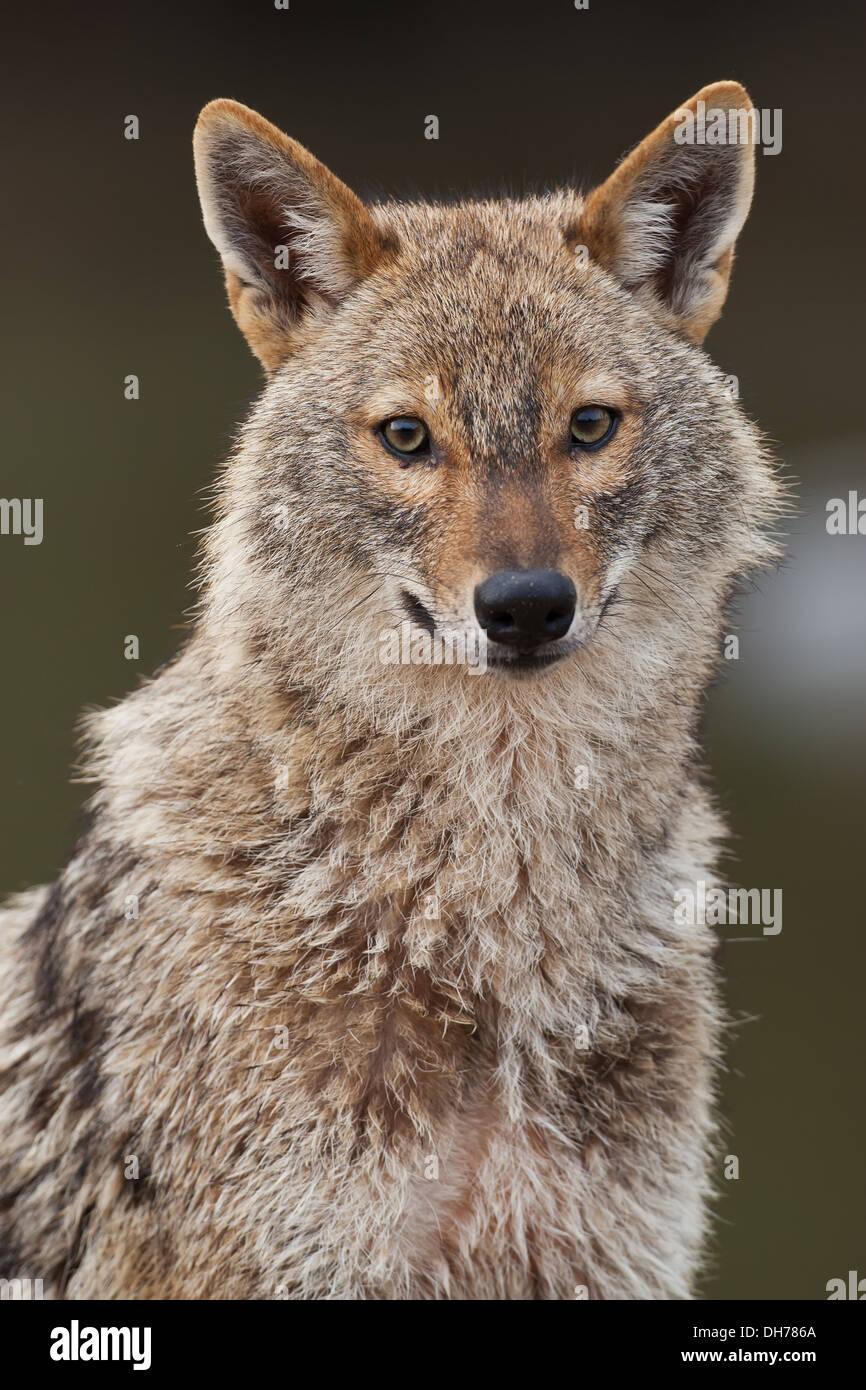 Le chacal doré, Canis aureus, le Chacal Banque D'Images