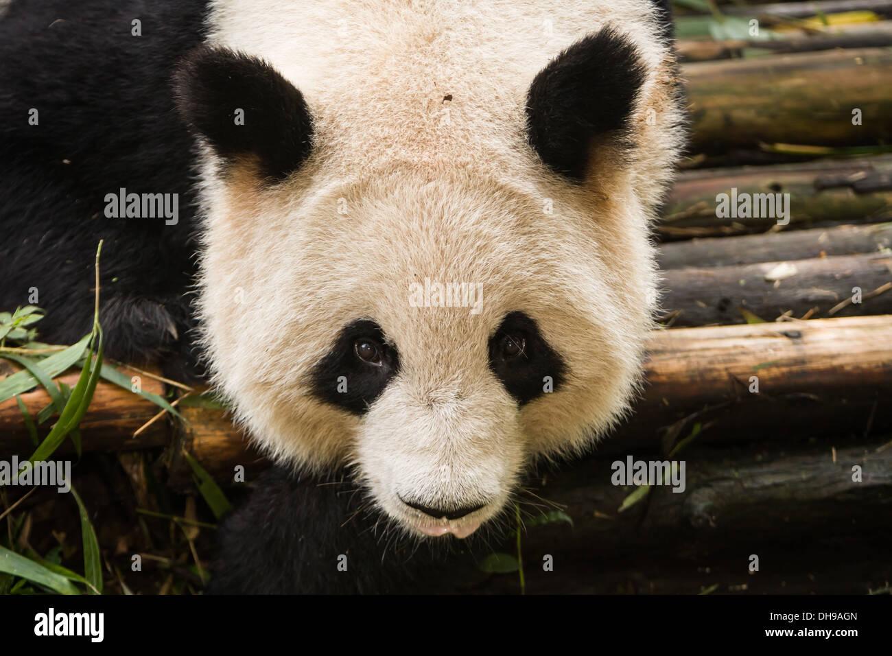 Panda regarde de près de Chengdu photographe base de recherche Centre d'élevage du panda géant du Sichuan en Chine Photo Stock