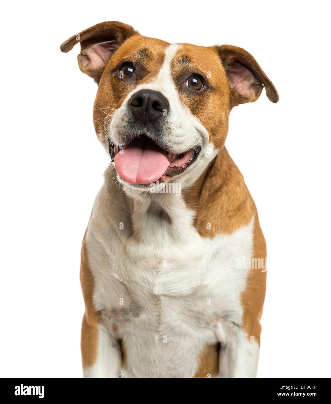 Close-up d'un bulldog américain haletant contre fond blanc Banque D'Images