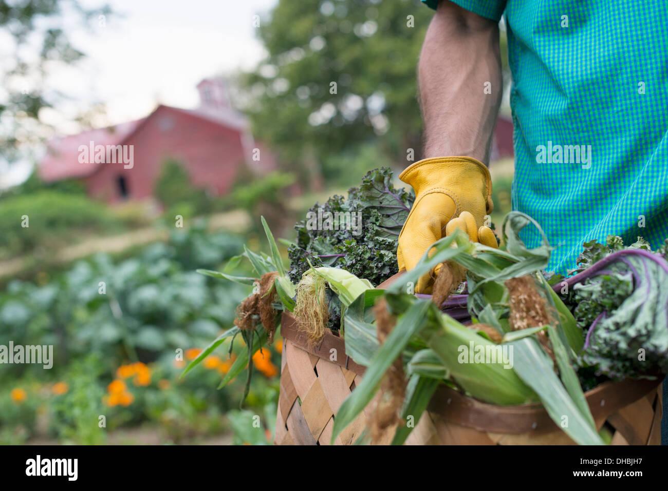 Un potager bio à la ferme. Un homme portant un panier de fraîchement récolté le maïs en épi. Banque D'Images