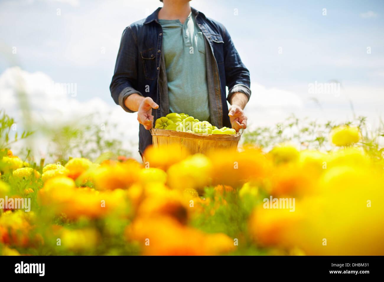 Un agriculteur travaillant dans ses champs, dans l'État de New York. Un jaune et orange fleur bio culture. Photo Stock
