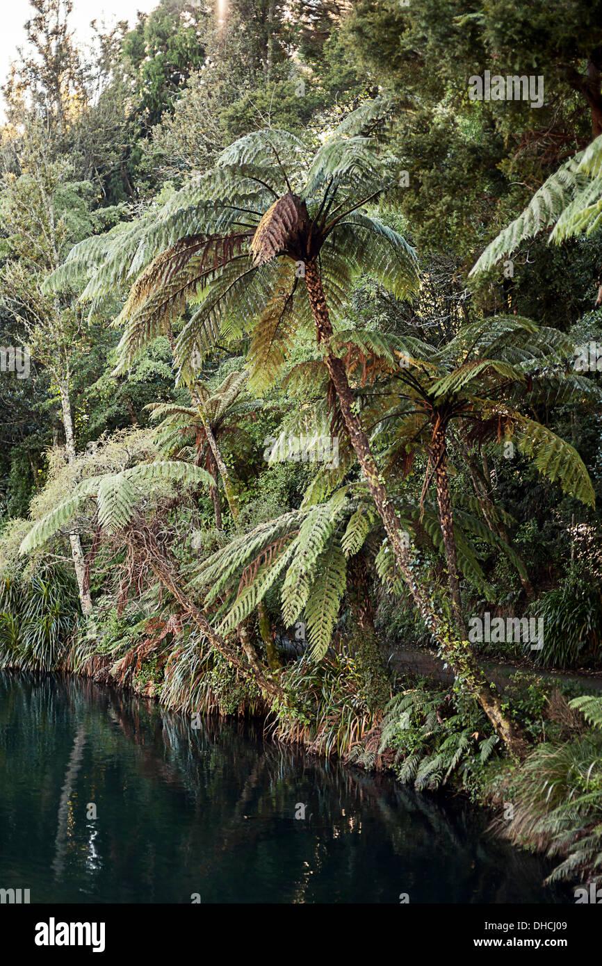 Les fougères arborescentes surplombent le lac, Nouvelle-Zélande Banque D'Images
