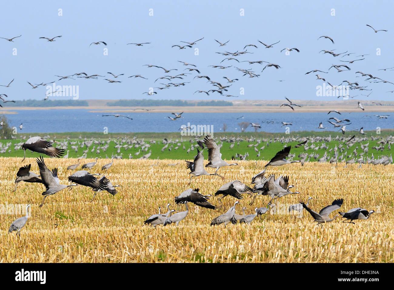 Common / grue Eurasienne (Grus grus) troupeau décollant de chaume de maïs près de la côte de la mer Baltique, Hohendorf, Allemagne du nord. Banque D'Images