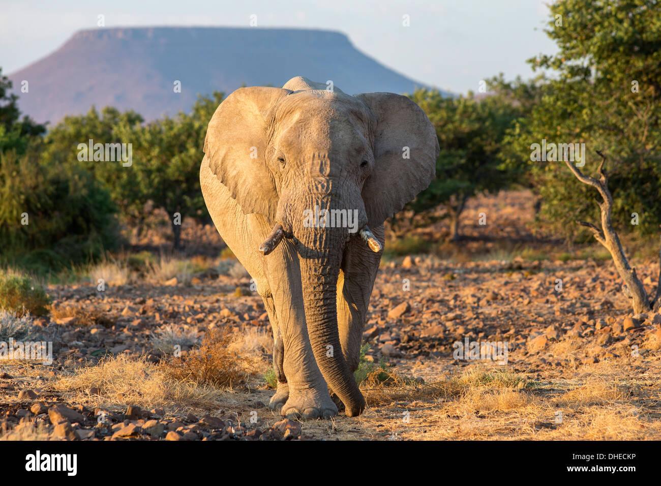 Elephant (Loxodonta africana), Damaraland, Namibie, Afrique, Kunene Photo Stock