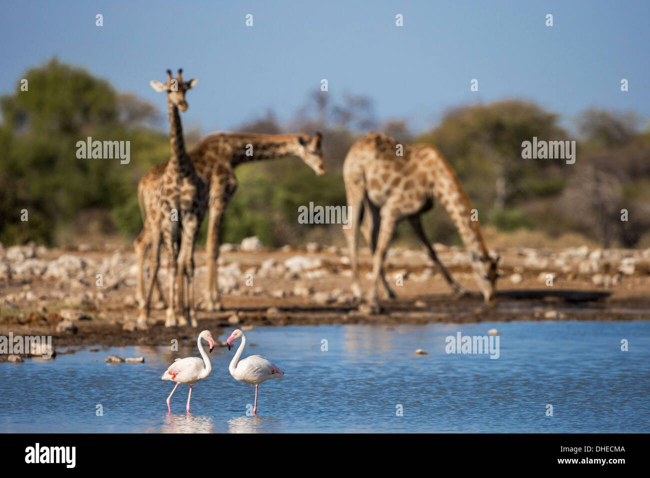 Girafe (Giraffa camelopardalis) , grand flamants roses (Phoenicopterus ruber), Etosha National Park, Namibie, Afrique Photo Stock