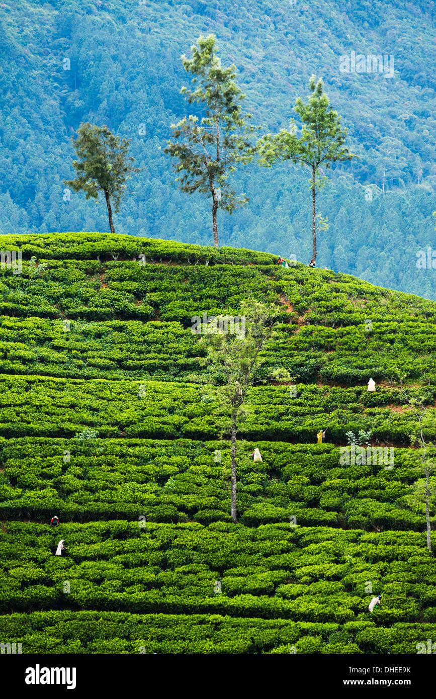 Cueilleurs de thé travaillant dans une plantation de thé dans les hautes terres du centre, District de Nuwara Eliya, Sri Lanka, Asie Photo Stock