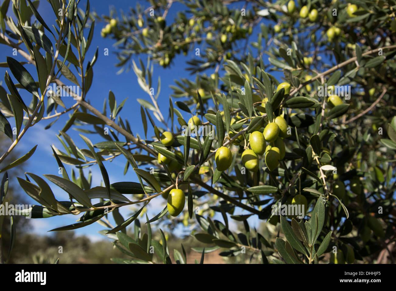 olives growing sur un olivier en andalousie espagne banque d 39 images photo stock 62467977 alamy. Black Bedroom Furniture Sets. Home Design Ideas